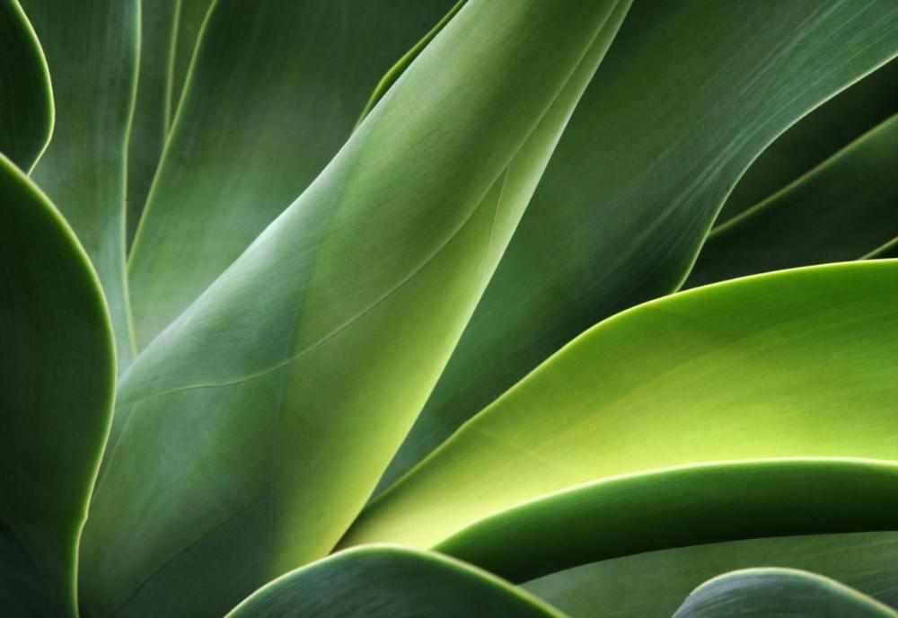 Aloe (orig).jpg