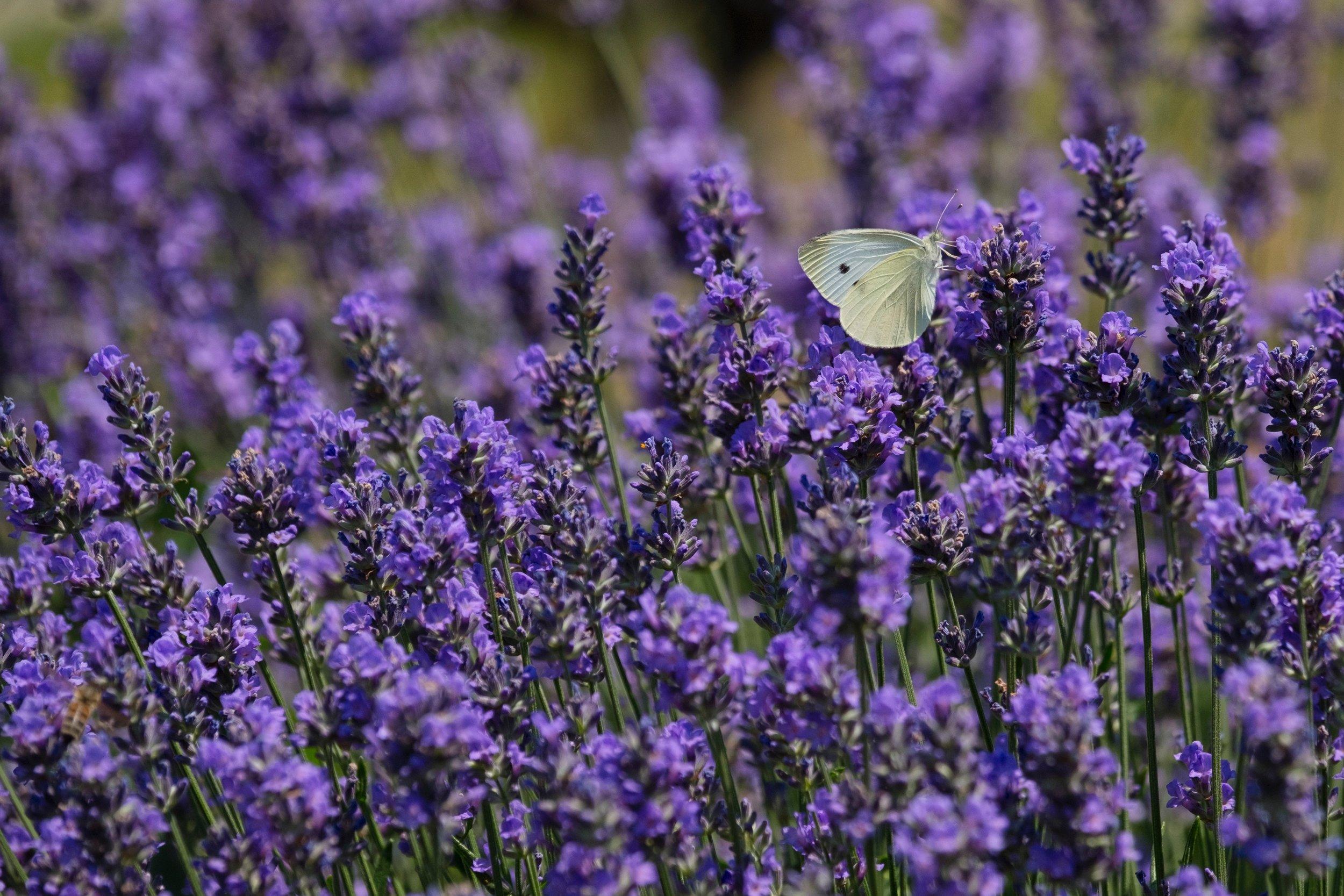 lavendar-butterfly.jpg