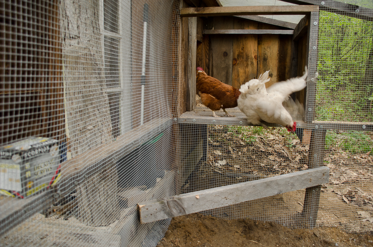 New Chicken Coop Run-8.jpg