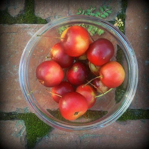 crabapples gathered today at Jacobs Farm