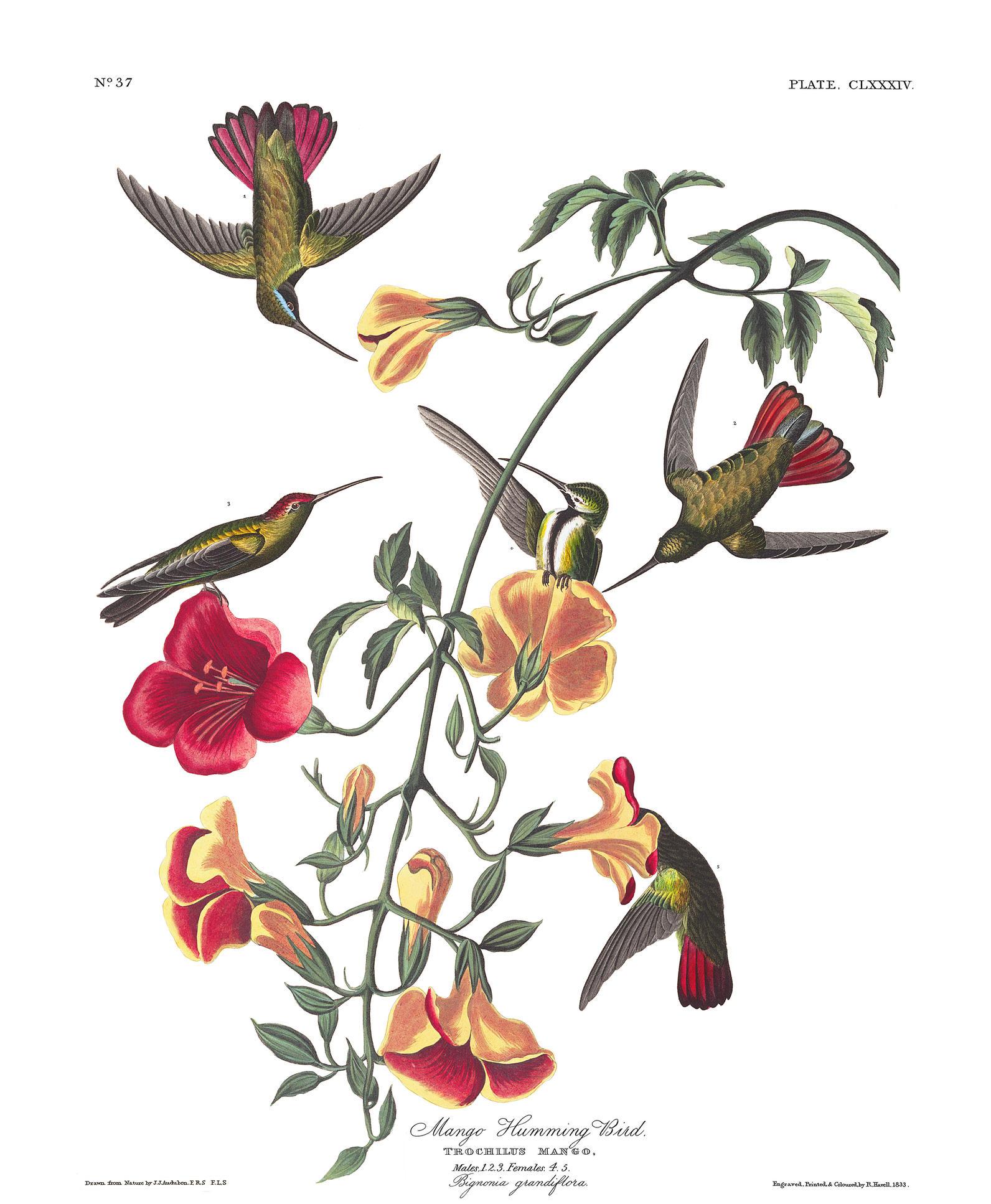 Audubon's Hummingbirds 1833