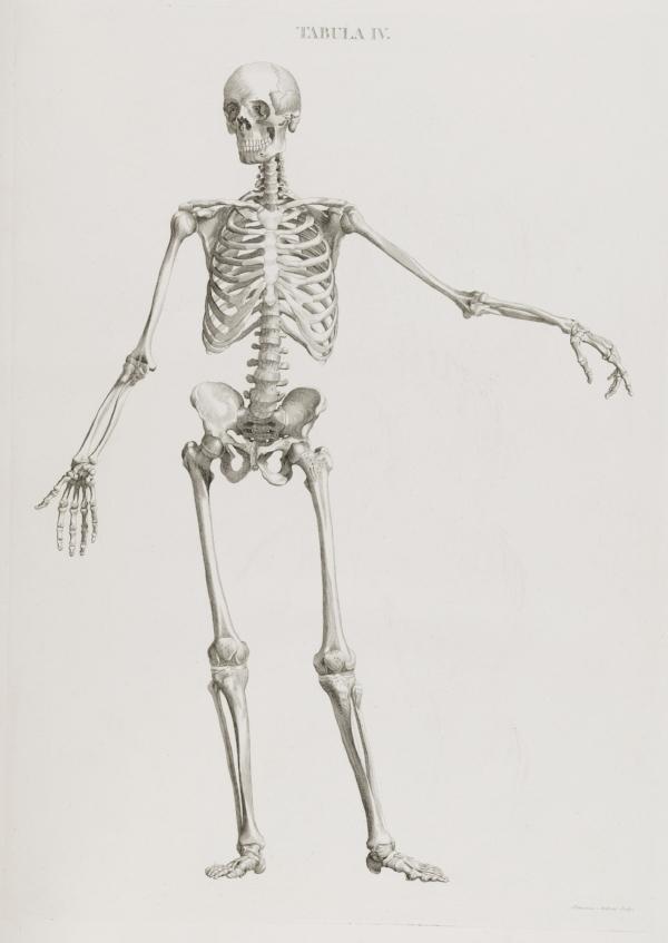 Illustration_of_skeleton_standing_Wellcome_L0049507.jpg