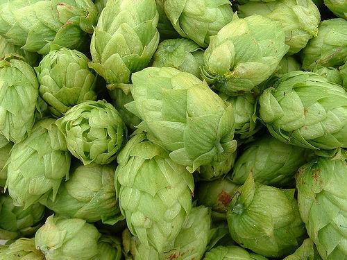 growing-hops.jpg