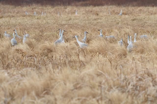 Sandhill-Cranes_MG_3522.jpg