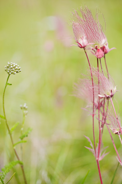 Prairie Smoke (Geum triflorum) - Jasper NP, Canada    Canon 5D Mark ii + Canon 100mm f2.8L IS Macro