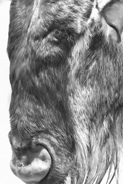 WildebeestImpressions.jpg