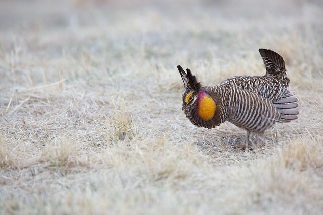 Chicken Dance (Tympanuchus cupido) - Bluestem Prairie, MN    Canon 5D mark iii + Canon 300mm f2.8L IS + Canon 1.4x Converter