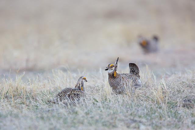Truce (Tympanuchus cupido) - Bluestem Prairie, MN    Canon 5D mark iii + Canon 300mm f2.8L IS + Canon 1.4x Converter