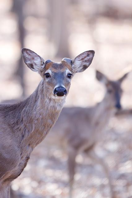 Young Buck (Odocoileus virginianus) - Tamarack Nature Center, MN    Canon 50D + Canon 300mm f2.8L IS