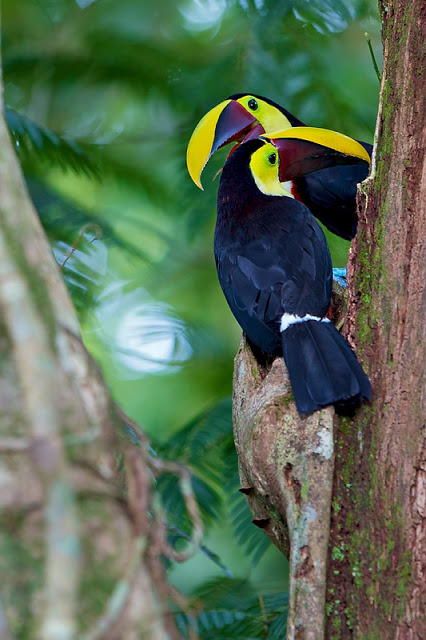 Not Stuttering... Two Toucans (Ramphastos ambiguus swainsonii) - Selva Verde, Costa Rica 2011    Canon 7D + Canon 300mm f2.8L IS