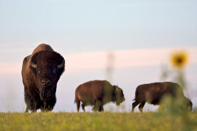 bison.jpeg