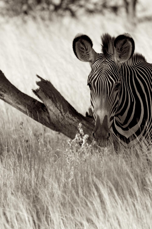 Zebra-G2_MG_2243.jpg