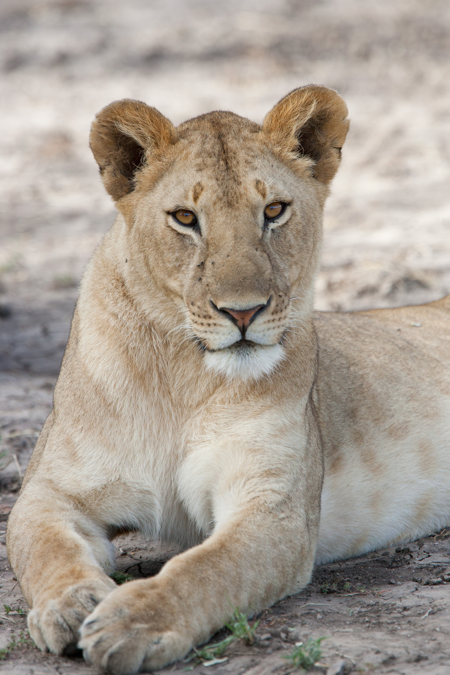 LionessKWD06-15-08_0113.jpg