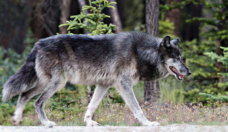 Wolf9809.jpg