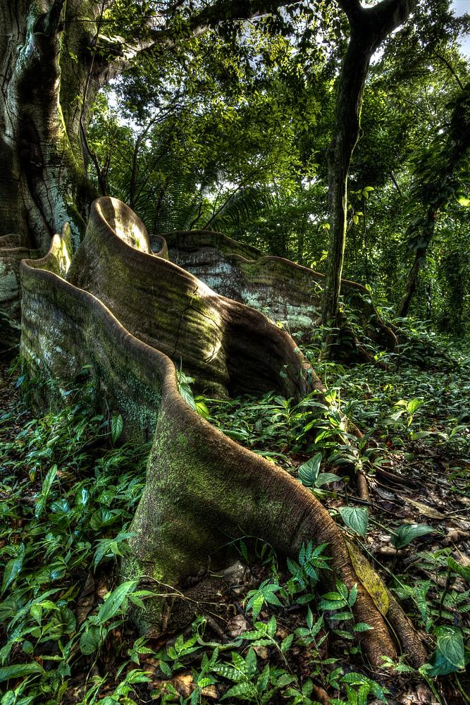Giant S)trangler Fig ( Ficus insipida ) - Hacienda Baru, Costa Rica  Canon 5D  mark iii  + Canon 17-40L @ 19mm / f16