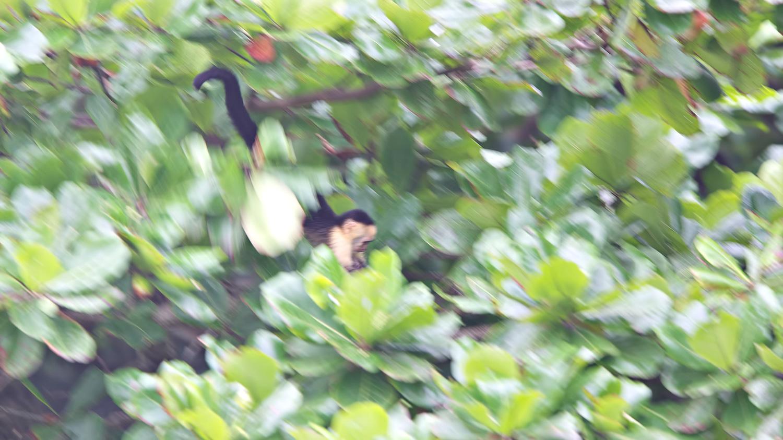 Flying Capuchin  (Cebus capucinus)  - Hacienda Baru, Costa Rica