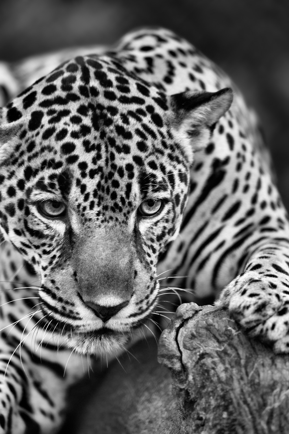 Portrait of a Jaguar (Panthera once) - Rio Quatro Rehabilitation Farm, Costa Rica    Canon 5D mark iii + Canon 300mm f2.8L IS