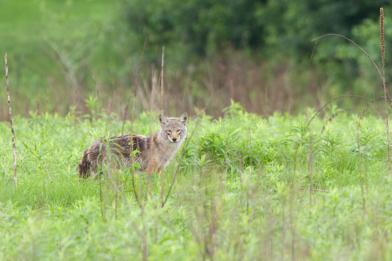 Suburban Coyote (Canis latrans) - White Bear Lake, MN  Canon 50D + Canon 300mm f2.8IS L + Canon 1.4x converter