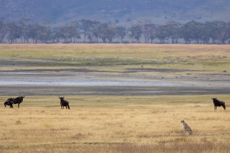 Cheetah Watching, Ngorongoro Crater