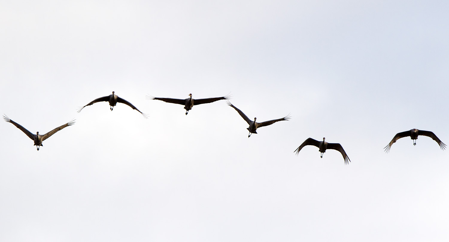 Migrating Cranes (  Grus canadensis   ) - Crex Meadows Wildlife Management Area, WI
