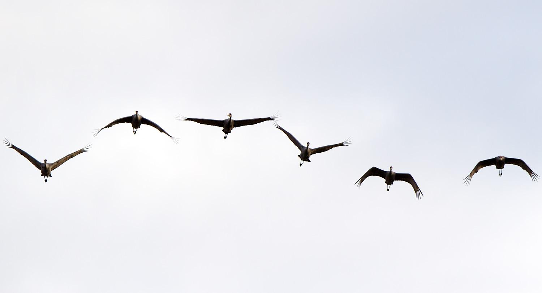 Migrating Cranes ( Grus canadensis  ) - Crex Meadows Wildlife Management Area, WI