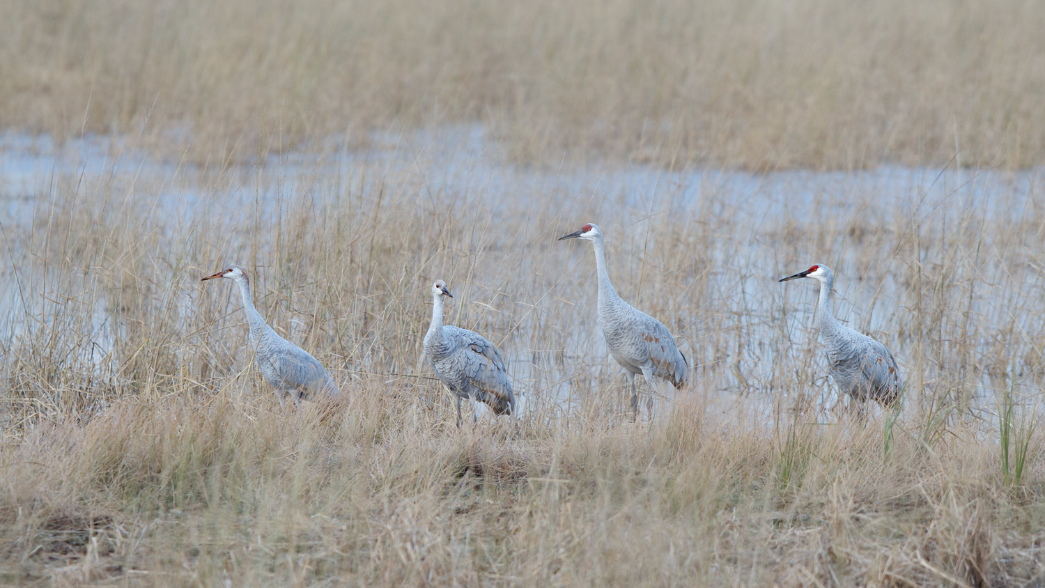 Sandhill Nuclear Family ( Grus canadensis ) - Crex Meadows Wildlife Management Area, WI