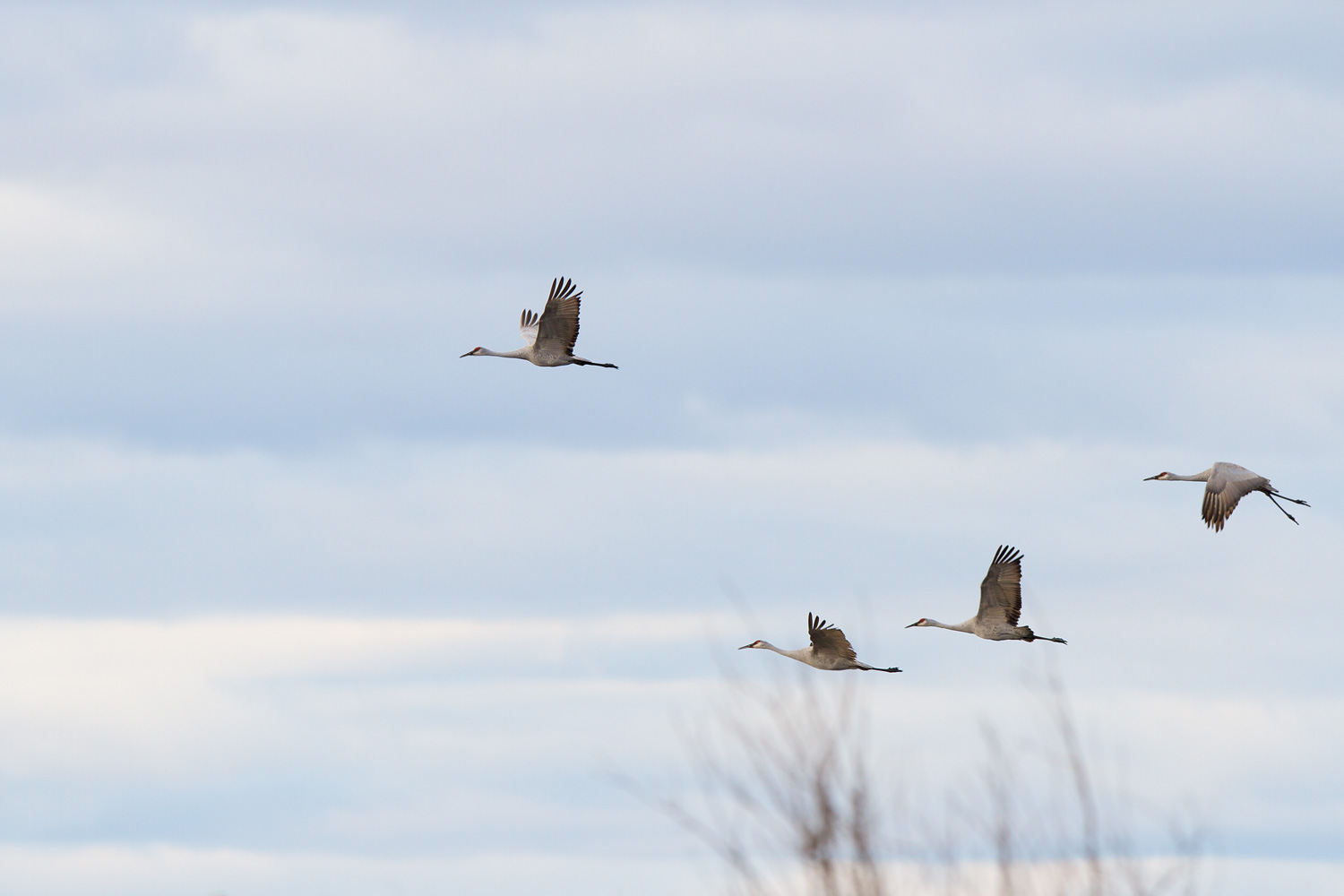 Flying to Roost ( Grus canadenis  ) - Crex Meadows Wildlife Management Area, WI