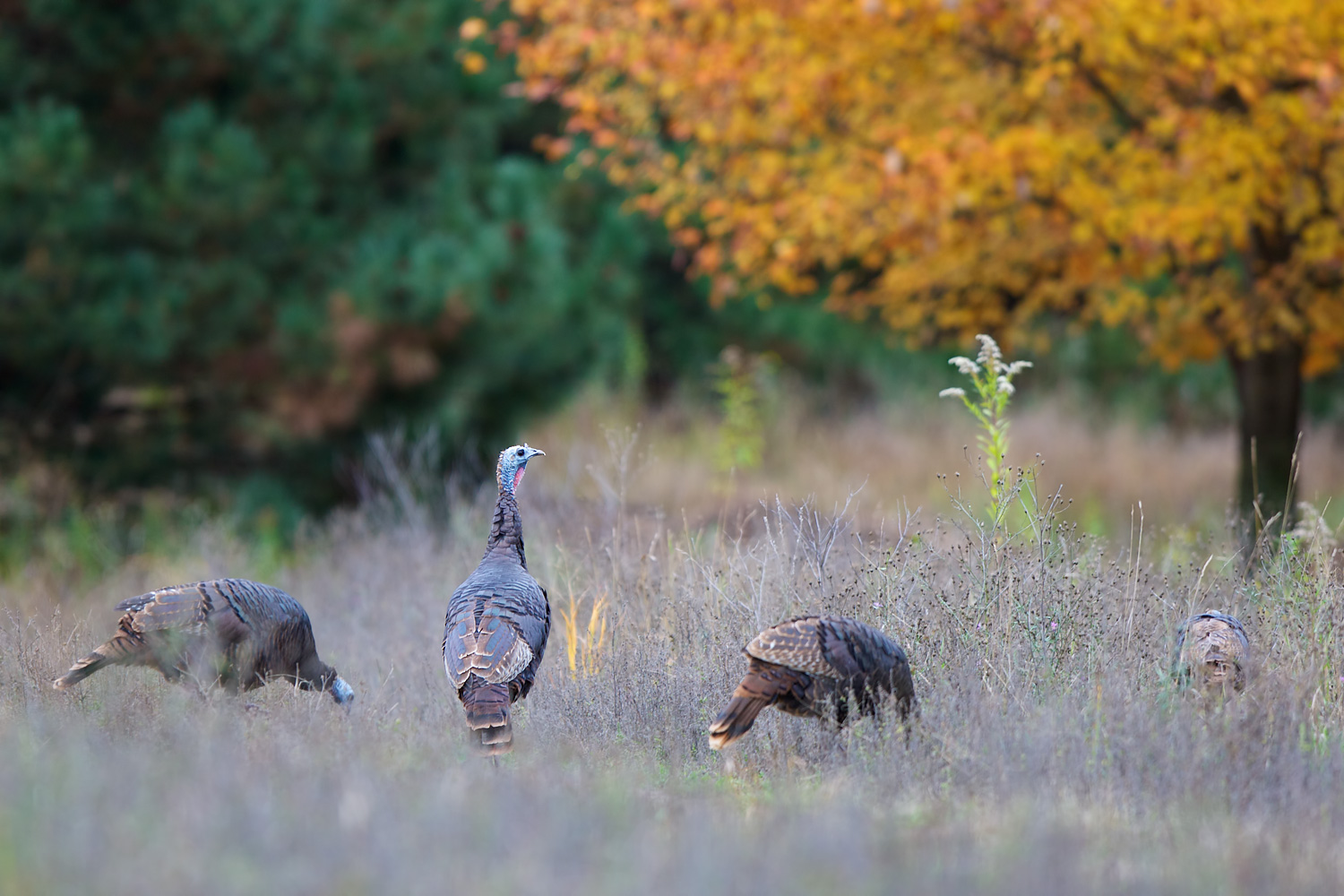 Someone say Thanksgiving? (Meleagris gallopavo) - Tamarack Nature Center, MN    Canon 5D Mark iii + Canon 300mm f2.8L IS
