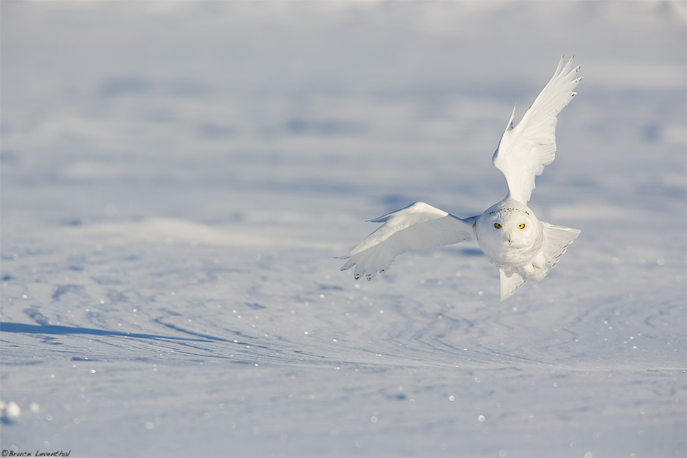 Bubo scandiacus - Snowy Owl, MN Invasion    Canon 5D Mark iii + Canon 300mm f2.8L IS + Canon 1.4x Mark i Converter