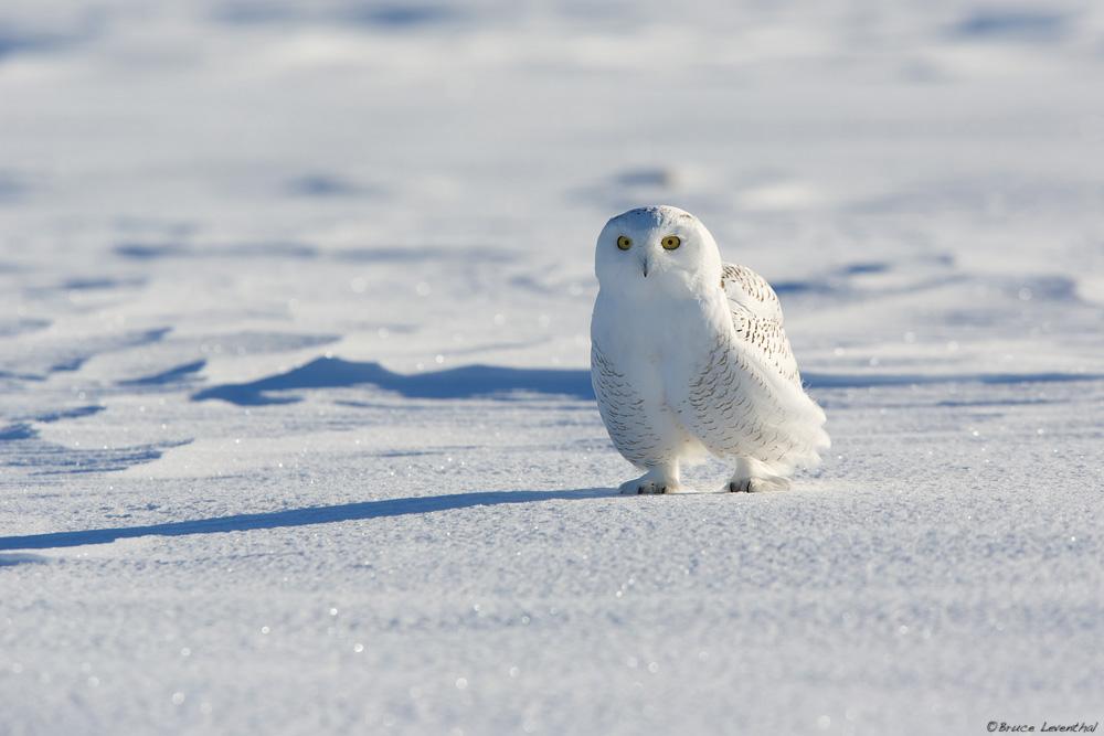 Bubo scandiacus - Snowy Owl, MN Invasion    Canon 5D Mark iii + Canon 300mm f2.8L IS + Canon 1.4x Mark i Converter