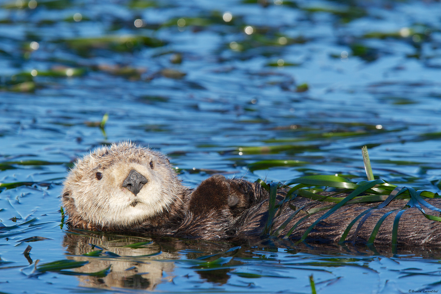 Sea Otter  (Enhydra lutris)  - Elkhorn Slough, CA  Canon 7D, Canon 300 f2.8L IS, Canon 1.4x converter: 1/500 @ f4.5