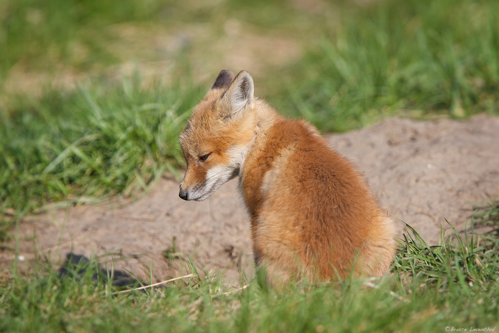Red Fox Kit  (Vulpes fulva)  and its Shadow : Southeast Minnesota  Canon 7D + Canon 300mm f2.8 IS L + Canon 1.4X  mark I  @ f/4.5
