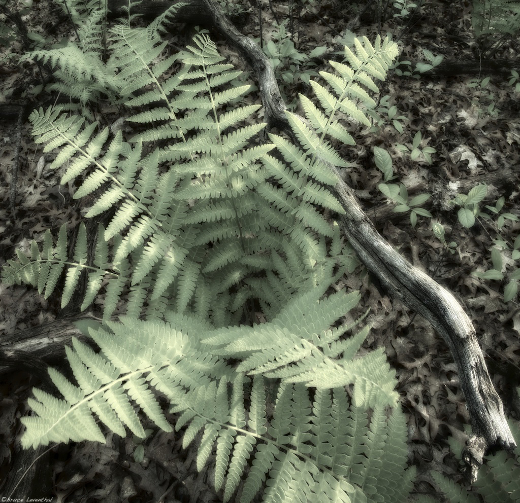 Fern Dreams - Tamarac Nature Center, Minnesota