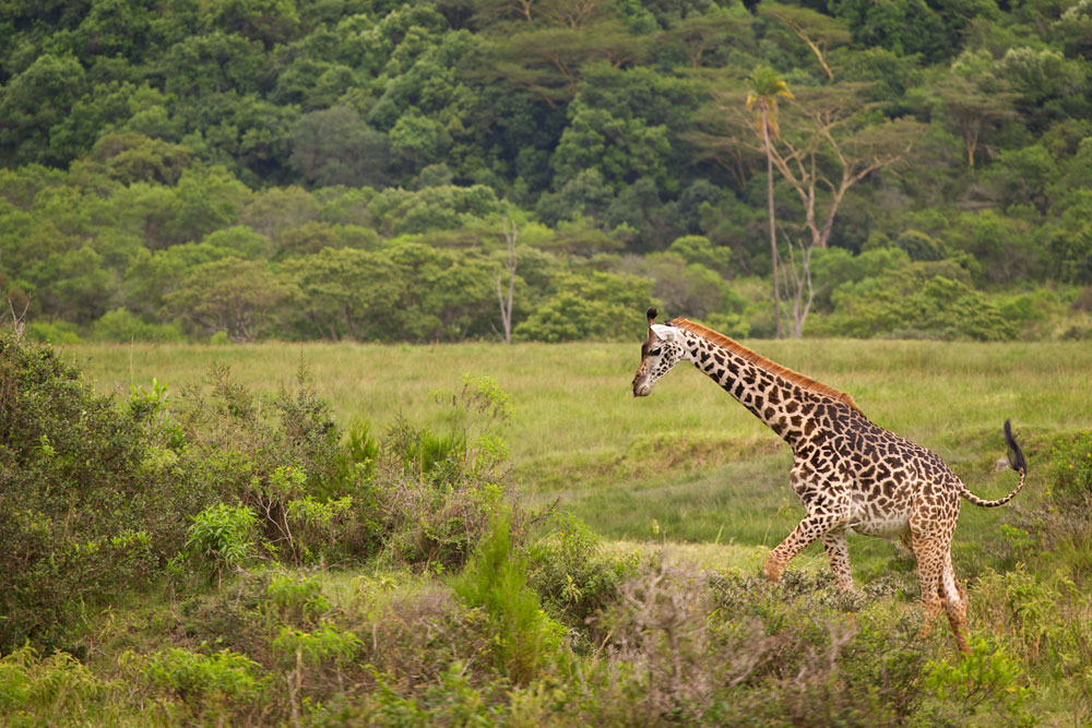Masai Giraffe - Arusha National Park, Tanzania    Canon 1D mark II + Canon 300mm f2.8L IS