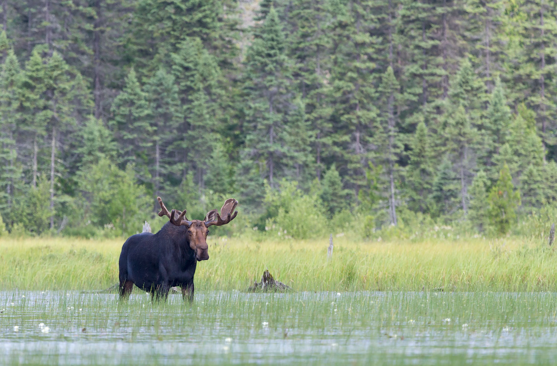 Alces alces - Algonquin Provincial Park, Ontario Canada   Canon 7D + Canon 100-400 f4.5/5.6L IS