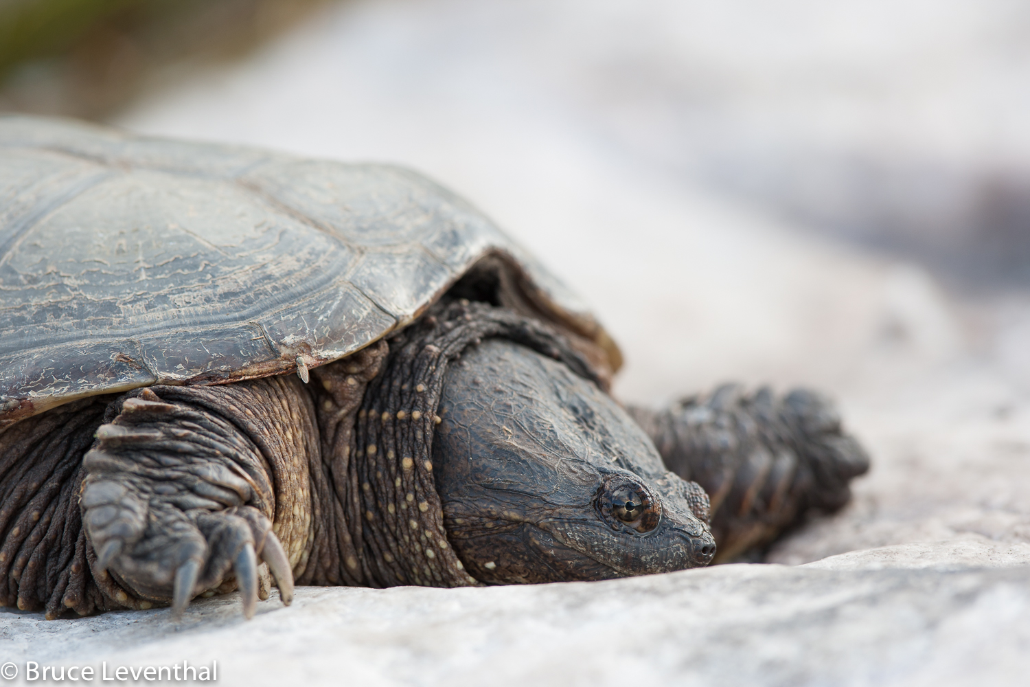 Portrait of a Snapping Turtle - Killarney Provincial Park, Ontario  Canon 1D mark III + Canon 300mm f2.8L IS