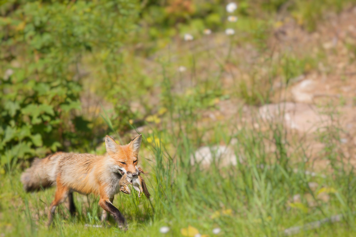 Red Fox ( Vulpes vulpes ) with Eastern Chipmunk ( Tamias  striates ) : Algonquin Provincial Park, Ontario  Canon 1D mark iii + Canon 300mm f2.8L IS
