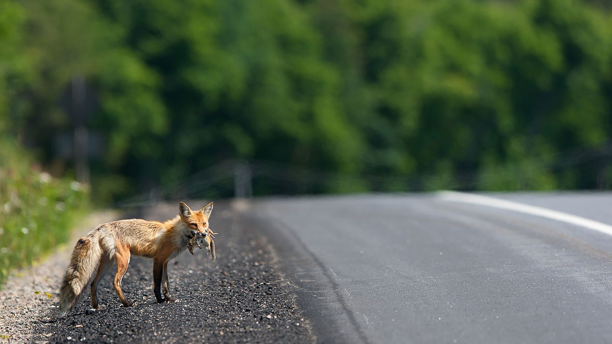 Road Fox ( Vulpes vulpes ): Algonquin Provincial Park, Ontario  Canon 1D mark iii + Canon 300mm f2.8L IS