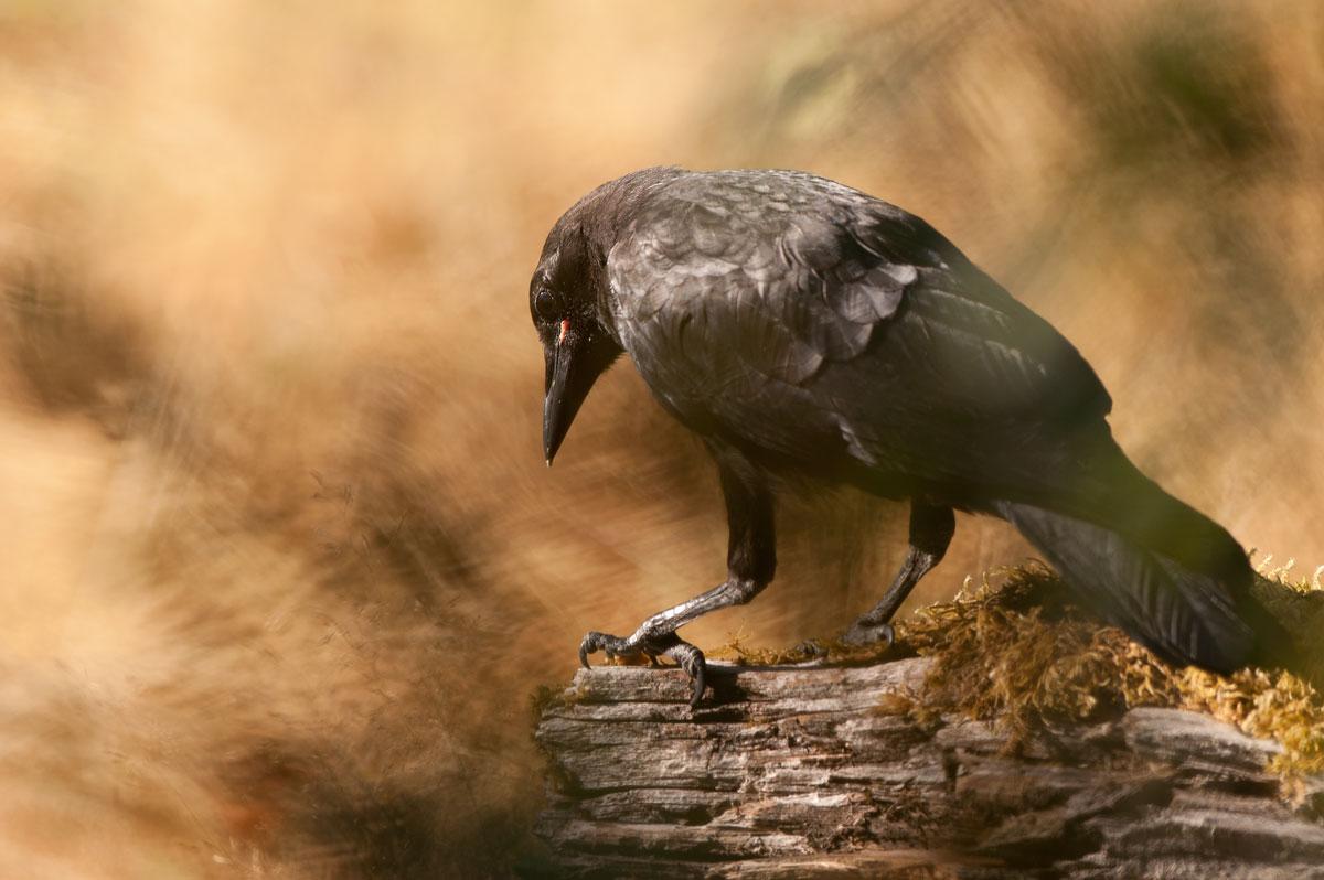 The scavenger: HOH Rainforest - Olympic National Park, WA  Nikon D100 + Nikon 300mm f2.8 AFS