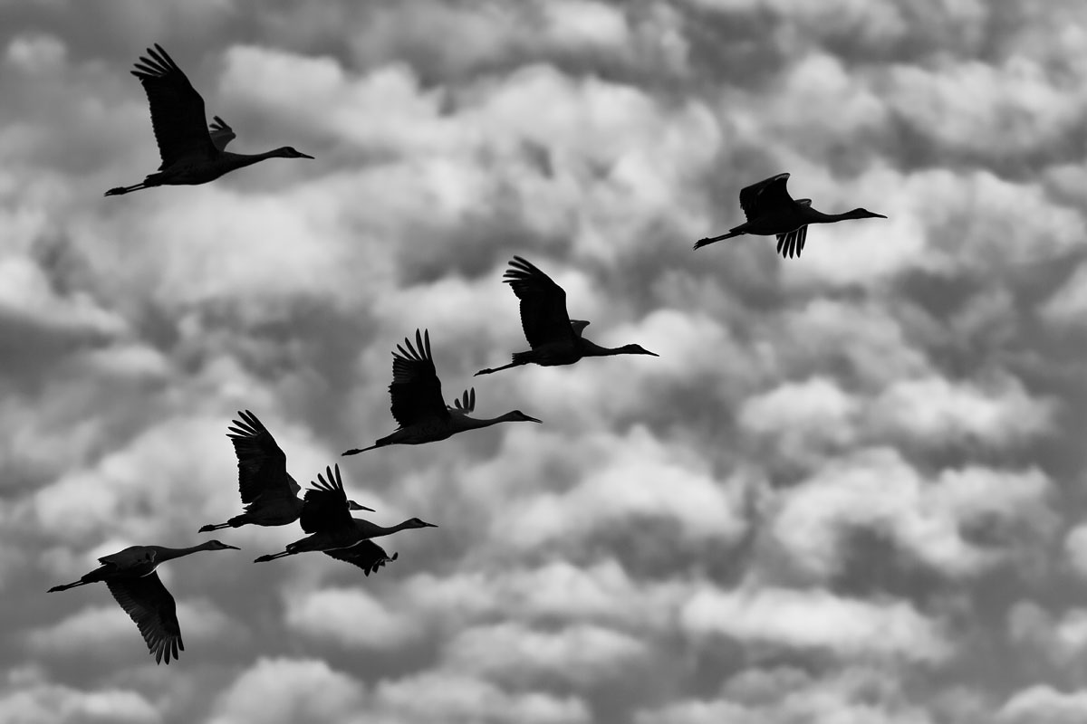 Migrating Cranes  (Grus canadensis) : Crex Meadows, WI  Canon 7D + Canon 300mm f2.8L IS