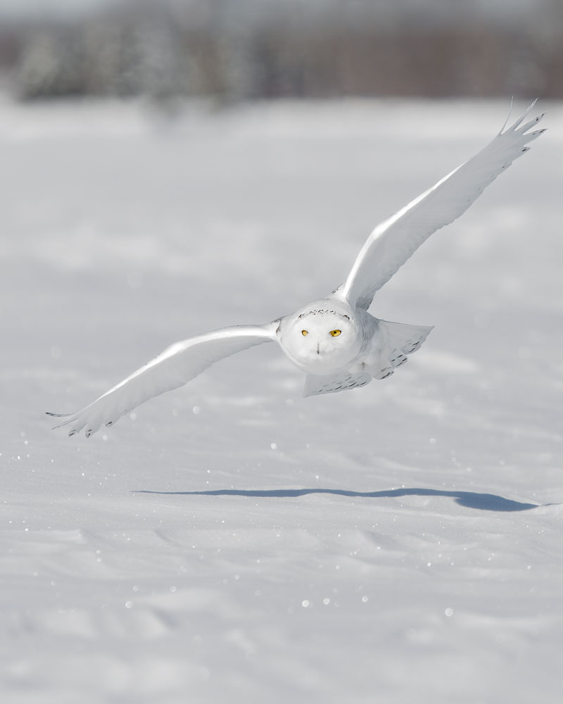 Snowy Owl  ( Bubo scandiacus)    - Minnesota    Canon 7D + Canon 300mm f2.8L IS