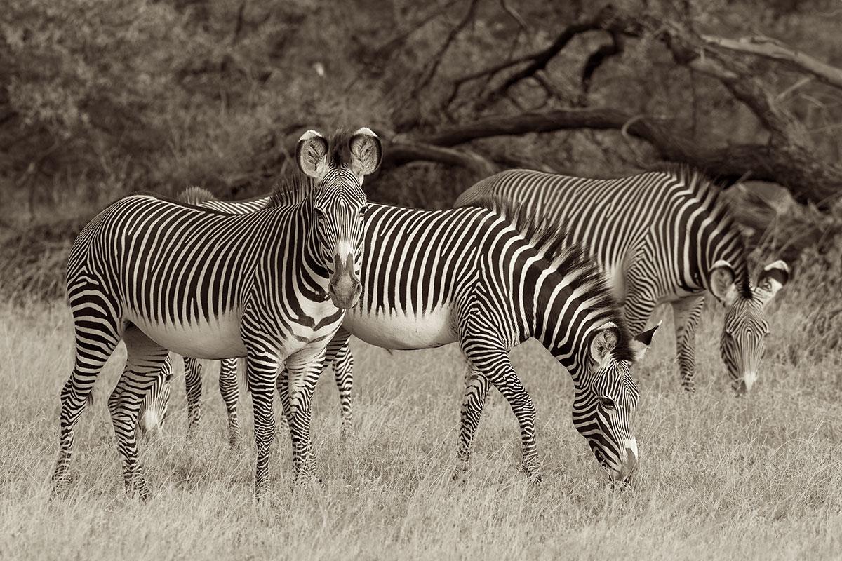 Grevy's Zebra (Equus grevyi) - Samburu National Reserve, Kenya  Canon 7D + Canon 300mm f2.8L IS