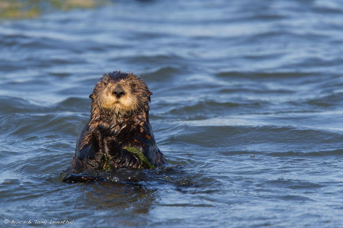 California Sea Otter (Enhydra lutris) - Moss Landing, CA  Canon 7D + Canon 300mm f2.8L IS
