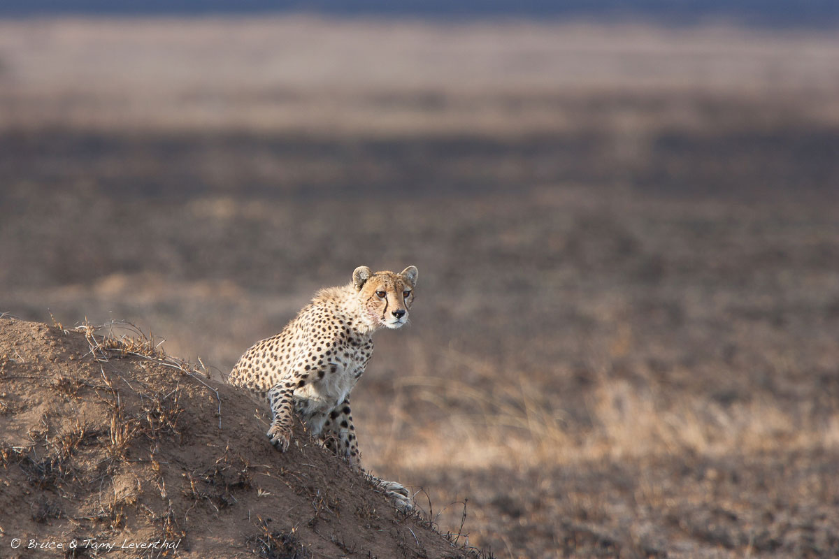 African Cheetah  (Acinonyx jubatus)  - Serengeti National Park, Tanzania  Canon 1D mark 2 + Canon 300mm f2.8L IS