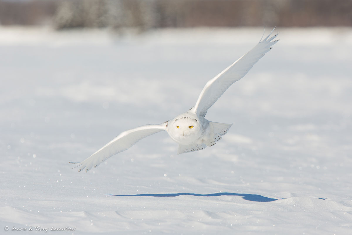 Snowy Owl Hunt  (Bubo scandiaca)  - East Central Minnesota  Canon 7D + Canon 300mm f2.8L IS