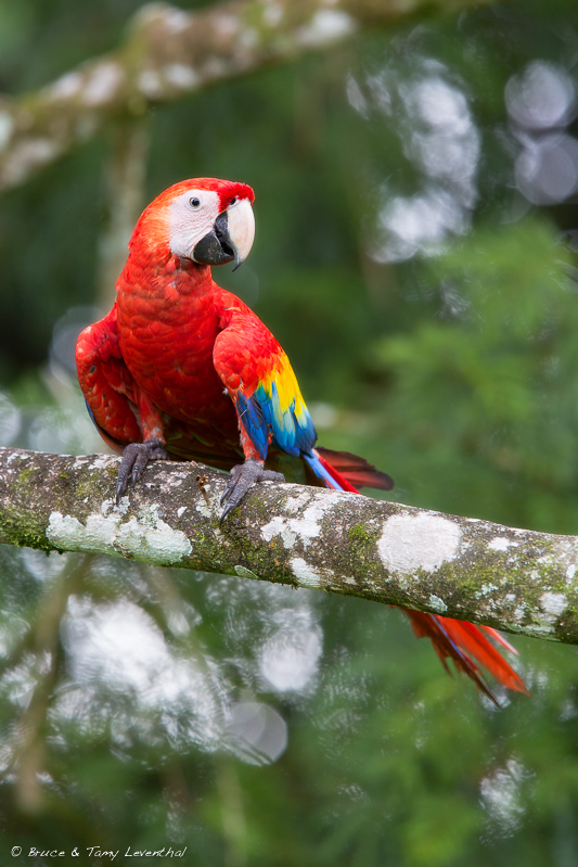 Scarlet Macaw (Ara macao) - Caribbean Slope, Costa Rica  Canon 5D Mark III + Canon 300mm f2.8L IS + Canon 1.4x converter