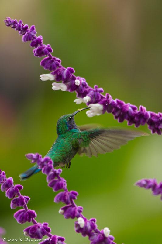 Green Violet-ear Hummbingbird(Colibri thalassininus) - Savegre River, Costa Rica  Canon 5D mark iii w/ Canon 300mm f2.8L IS + Canon 2x mark iii converter