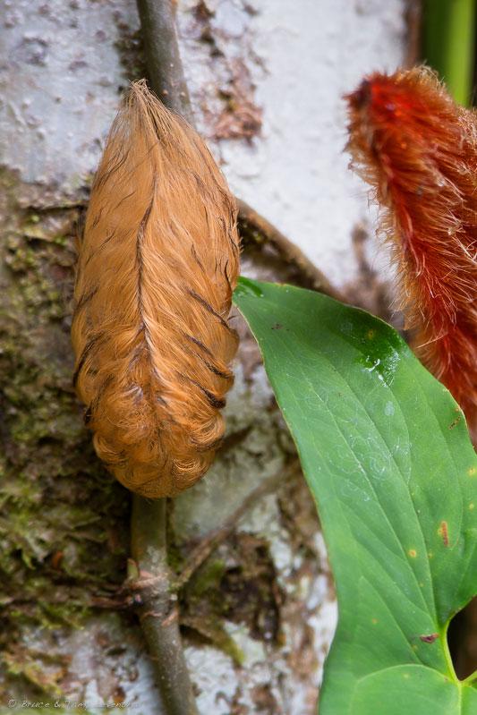 Megalopyge (Puss) Caterpillar - Selva Verde, Costa Rica