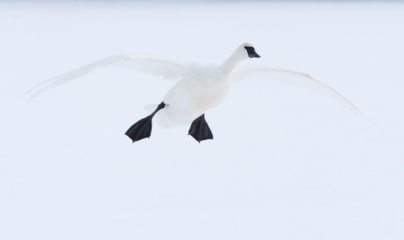 Trumpeter Swan, MN