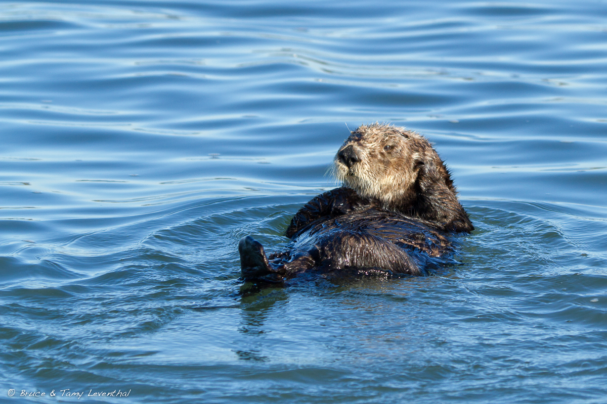 Sea Otter ( Enhydra lutris ) - Elkhorn Slough, CA